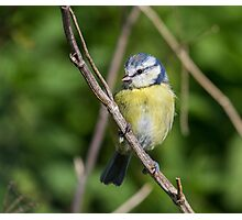Blue Tit Pose.. Photographic Print