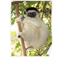 Winsome Verreaux's Sifaka Poster