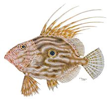 John Dory 2009 by Peter Shearer