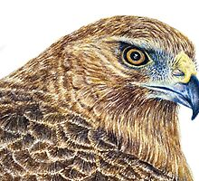 Harrier Hawk Head 2011 by Peter Shearer