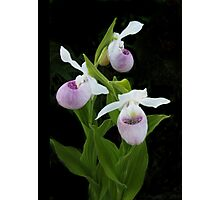 Showy Lady's-slipper (Cypripedium reginae) Photographic Print