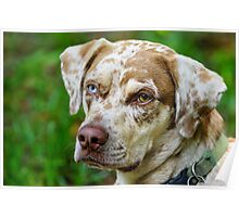 Gypsy The Catahoula Leopard Dog Poster