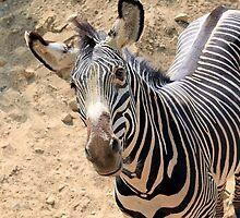 Inquisitive Zebra (Palm Springs, California) by Brendon Perkins