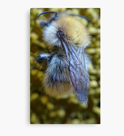 Mr Bee getting pollen from a sunflower  Canvas Print
