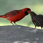 male cardnel sharing with femail by gene mcfarland