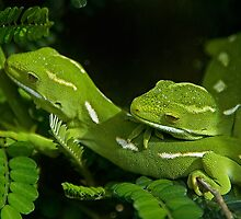 New Zealand Green Gecko by Peter Shearer