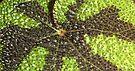 Begonia Rex Leaf Detail  by Carole-Anne