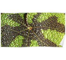 Begonia Rex Leaf Detail  Poster