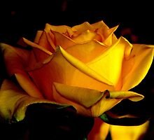 Golden Rose by Louise Linossi Telfer