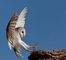 Australian Barn Owl by David Woolcock