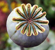 Opium Capsule by Paul  Green