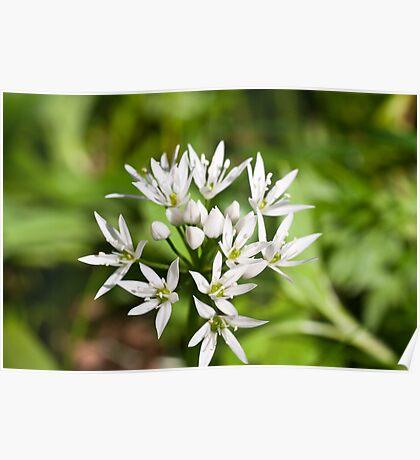 Plant, Wild garlic, Allium ursinum, flower Poster