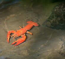 Large Crawdad by Randall Ingalls
