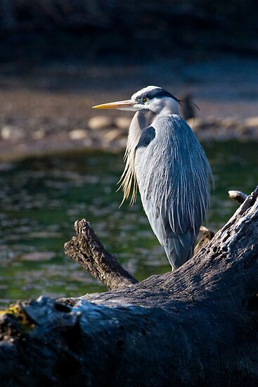 Great Blue Heron Chillin' by Randall Ingalls