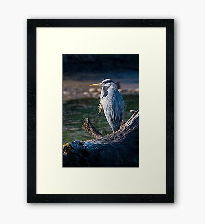 Great Blue Heron Chillin' Framed Print