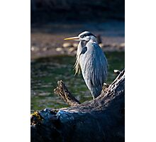Great Blue Heron Chillin' Photographic Print