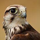 Lanner Falcon Portrait by TerryPatrick