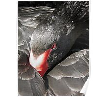 Black Swan at The Friars Poster