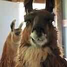 lamas by gabbielizzie
