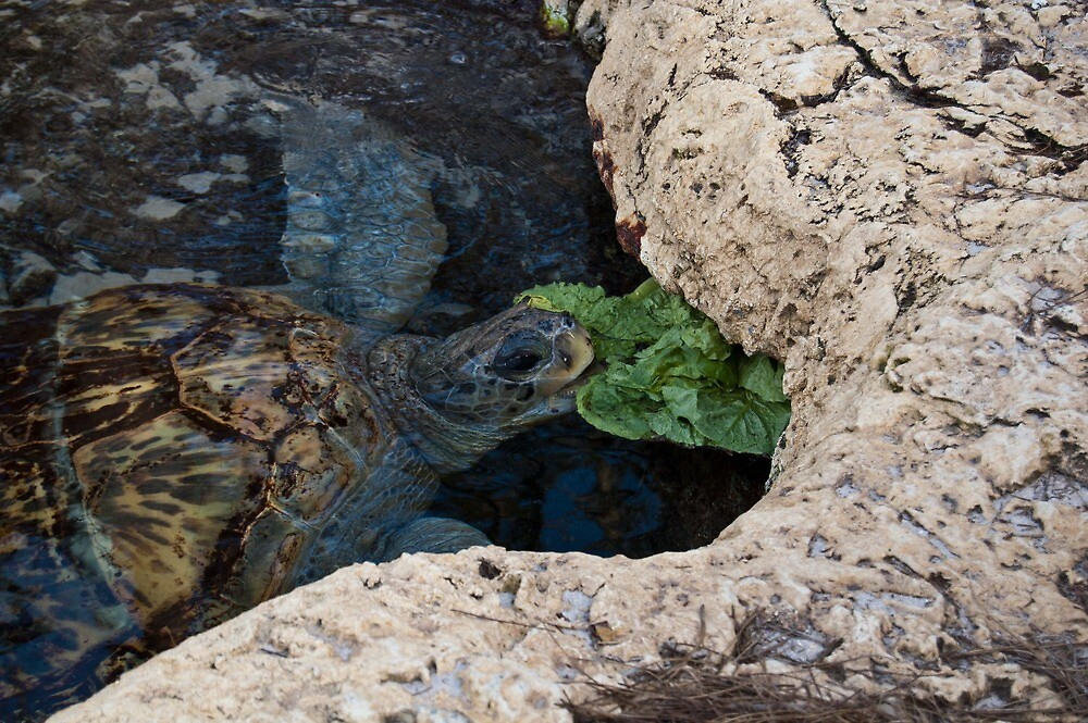 Sea Turtle Eating-Sea World Orlando by lissie27