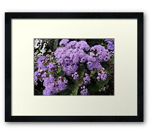 Purple Daisies Framed Print