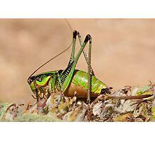 Decticus verrucivorus - Greek Wart Biter Cricket Photographic Print
