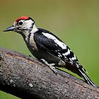 Great Spotted Woodpecker by M.S. Photography/Art
