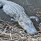 'Gator by James J. Ravenel, III