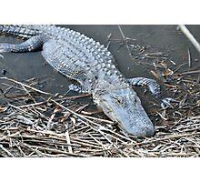 'Gator Photographic Print
