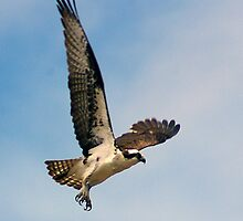Osprey in flight by Klaus Girk