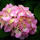 Hydrangea in Pink by Linda  Makiej