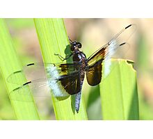 Male widow skimmer. Photographic Print
