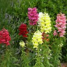 Snap Dragons by Barry Norton