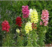 Snap Dragons Photographic Print
