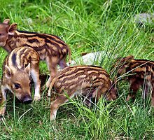 Baby Boars by vette