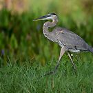 Strolling Great Blue Heron by Dennis Stewart