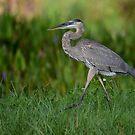 Strolling Great Blue Heron by Dennis Stewart
