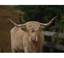 Highland Cattle on the Isle of Skye Photographic Print