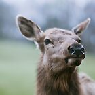 The nose knows: Deer @ Shenandoah by dinjyz
