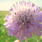 Devilsbit scabious by Livvy Young