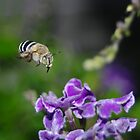 The Blue Banded Bumble Bee by Linda Fury