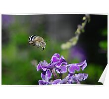 The Blue Banded Bumble Bee Poster