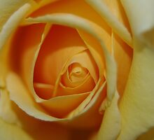 Yellow rose by Linda Fury