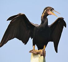 Male Anhinga Spreading his Wings by Paulette1021