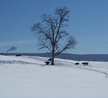 Snow Cows by James Brotherton