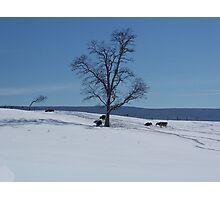 Snow Cows Photographic Print