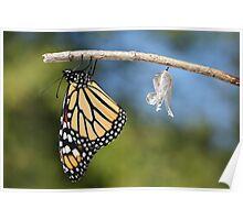 Monarch Butterfly & Chrysalis Poster