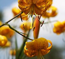 Turk's Cap Lilies by Alyce Taylor