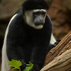 Colobus Monkey - Minnesota Zoo by Jeff Weymier