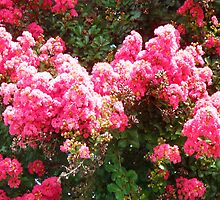 Crepe Myrtle by WeeZie